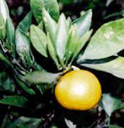 橘という植物